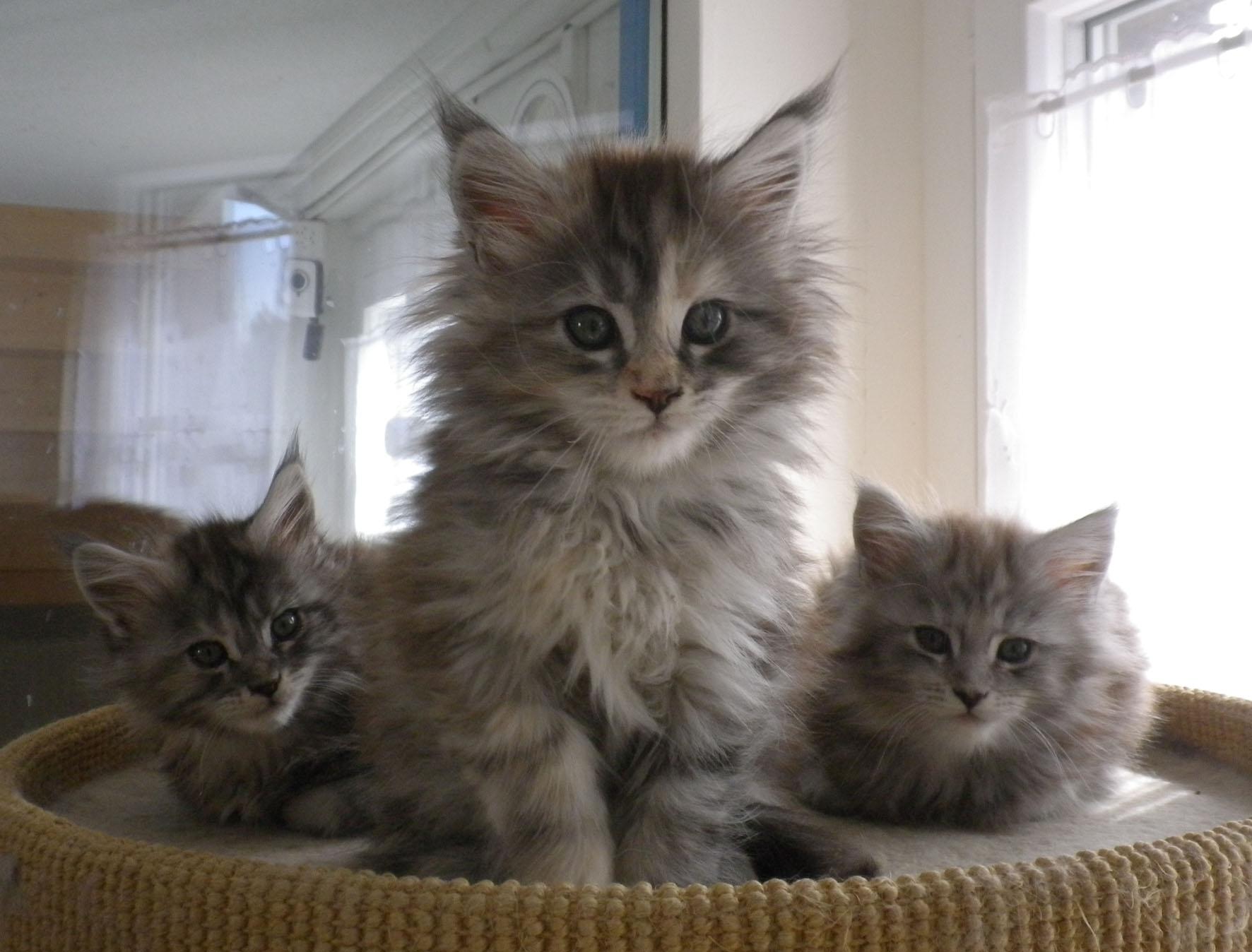 Maine coon katze kaufen